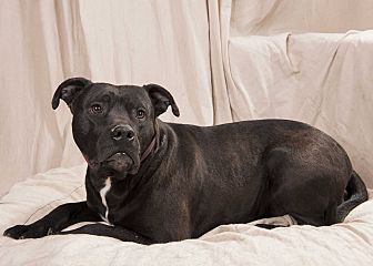 Staffordshire Bull Terrier/Boxer Mix Dog for adoption in St. Louis, Missouri - Dynamite Staffy Boxer