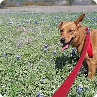 Adopt A Pet :: Lili UJ - Schertz, TX