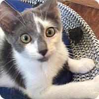 Domestic Shorthair Kitten for adoption in Middletown, Ohio - Jelly Bean