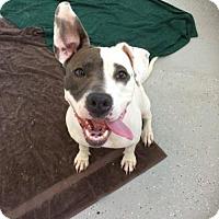 Adopt A Pet :: iris - Palatine/Kildeer/Buffalo Grove, IL