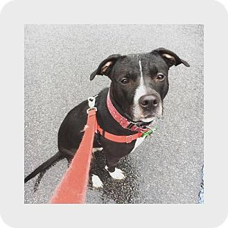 Pit Bull Terrier Mix Dog for adoption in Cranston, Rhode Island - Spike