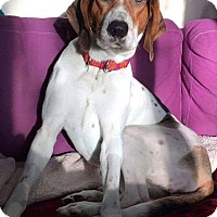 Coonhound Dog for adoption in Dayton, Ohio - Purdy