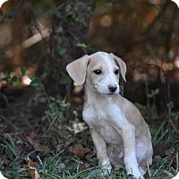 Adopt A Pet :: Spanky - Groton, MA
