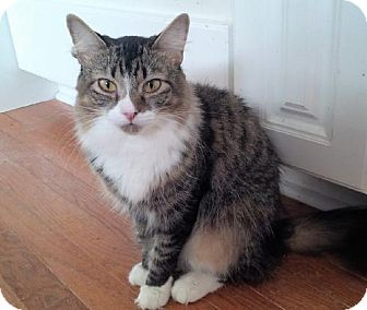Maine Coon Cat for adoption in Syracuse area, New York - Aimee Lap Kitty