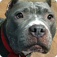 Pit Bull Terrier Dog for adoption in Kansas City, Missouri - Chicory