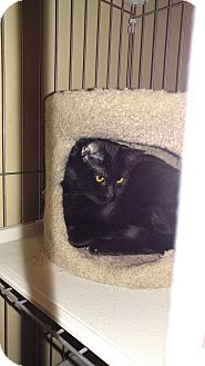 Domestic Shorthair Cat for adoption in Bolingbrook, Illinois - CAPONE