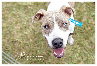 Pit Bull Terrier/Black Mouth Cur Mix Dog for adoption in Baytown, Texas - Benny