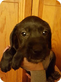 Labrador Retriever/Boston Terrier Mix Puppy for adoption in Medora, Indiana - Roni