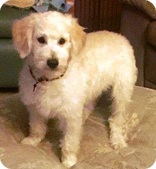 Labradoodle Puppy for adoption in Rancho Cucamonga, California - DYLAN