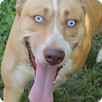 Adopt A Pet :: Valarie - Joplin, MO