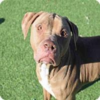 American Pit Bull Terrier Dog for adoption in Atlanta, Georgia - CLIFFORD