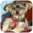 Photo 1 - Yorkie, Yorkshire Terrier Mix Dog for adoption in The Villages, Florida - Avery
