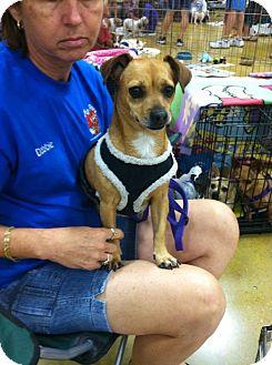 Dachshund/Chihuahua Mix Dog for adoption in West Palm Beach, Florida - BOOTSIE