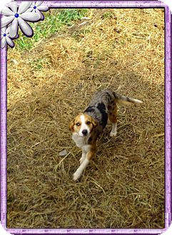 Australian Shepherd/Beagle Mix Dog for adoption in Hazard, Kentucky - Molly