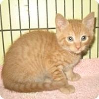 Adopt A Pet :: Cowboy - Shelton, WA
