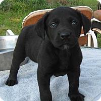 Adopt A Pet :: Chevy- ADOPTION PENDING - Marlborough, MA