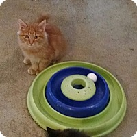 Adopt A Pet :: Gumdrop - Geneseo, IL