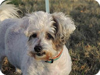 Havanese Mix Dog for adoption in Franklin, Tennessee - JAKE-SPECIAL NEEDS