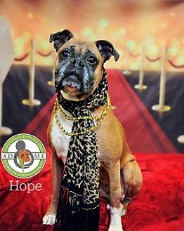 Boxer Dog for adoption in Oceanside, California - Hope