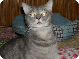 Domestic Shorthair Cat for adoption in Bonita Springs, Florida - Bill