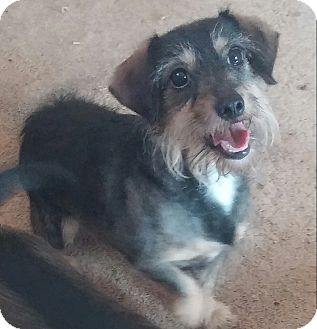 Terrier (Unknown Type, Small) Mix Dog for adoption in Los Angeles, California - Daisy