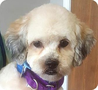 Shih Tzu/Poodle (Miniature) Mix Dog for adoption in Farmington Hills, Michigan - Charlie