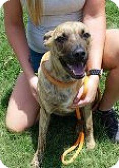 German Shepherd Dog/Blue Heeler Mix Puppy for adoption in Kingman, Kansas - Tripp