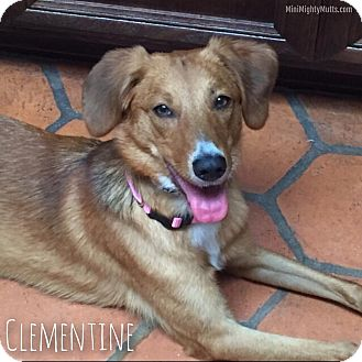 Australian Shepherd/Coonhound Mix Dog for adoption in Phoenix, Arizona - Clementine