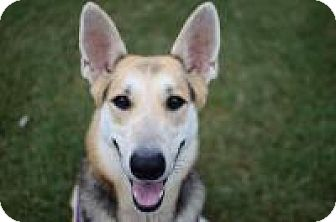 German Shepherd Dog Dog for adoption in Chattanooga, Tennessee - Leo