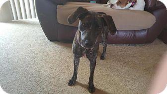 Plott Hound Mix Dog for adoption in Enfield, Connecticut - Lyanna