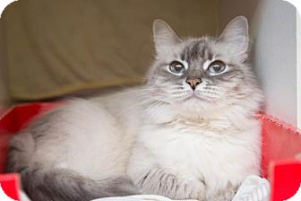 Balinese Cat for adoption in Baltimore, Maryland - Charm