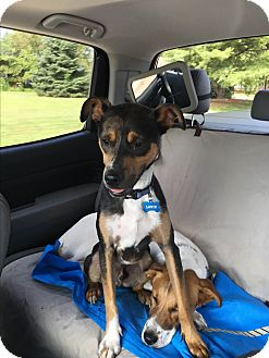 Australian Shepherd/Beagle Mix Dog for adoption in Florence, Kentucky - Louie