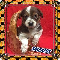 Adopt A Pet :: Snickers - Colorado Springs, CO