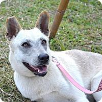 Spitz (Unknown Type, Medium)/Shepherd (Unknown Type) Mix Dog for adoption in San Francisco, California - Jenny