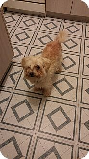 Shih Tzu Mix Dog for adoption in Montreal, Quebec - Benny **FOSTER NEEDED**