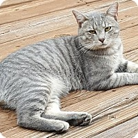 Domestic Shorthair Cat for adoption in Raleigh, North Carolina - KITTY