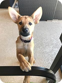 German Shepherd Dog Mix Puppy for adoption in Darlington, Maryland - Paige