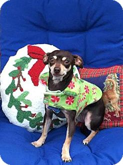 Chihuahua Dog for adoption in North Richland Hills, Texas - Jessie