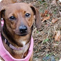 Adopt A Pet :: Lacey - Asheville, NC