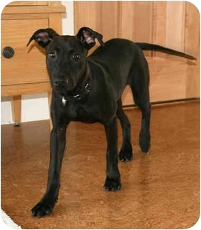 doberman bulldog mix jodi adopted puppy kensington ca doberman pinscher