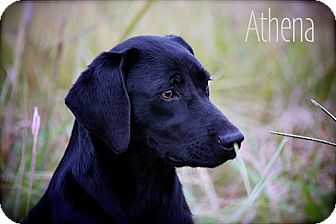 Labrador Retriever Mix Dog for adoption in Wilmington, Delaware - Athena