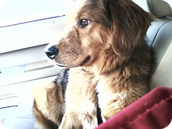 Golden Retriever/Australian Shepherd Mix Dog for adoption in Staunton, Virginia - Camo
