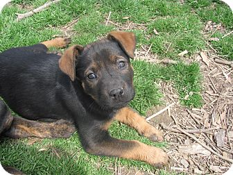 Boxer/Labrador Retriever Mix Puppy for adoption in Humboldt, Tennessee - Bowzer