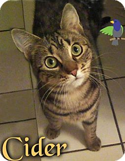 Domestic Shorthair Cat for adoption in River Edge, New Jersey - Cider