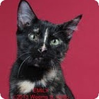 Domestic Shorthair Cat for adoption in Garland, Texas - Emily