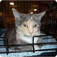 Domestic Shorthair Cat for adoption in Chattanooga, Tennessee - Cassie