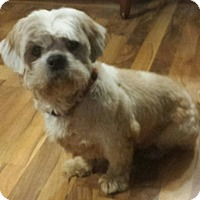 shih tzu rescue va fredericksburg va shih tzu meet earl a dog for adoption 2919