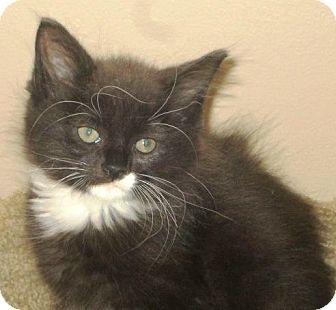 Domestic Mediumhair Kitten for adoption in Burlington, Ontario - Pepe