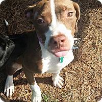 Adopt A Pet :: Adilene - Alpharetta, GA