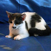 Domestic Shorthair Kitten for adoption in Sarasota, Florida - Bernadette